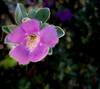 • Location - Indialantic<br /> • Texas Sage - Leucophyllum