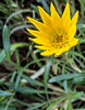 • Location - Indialantic<br /> • Narrow-Leaved Sunflower