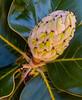 • Location - Indialantic<br /> • Magnolia Tree Seed Pod