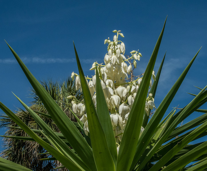 • Location - Indialantic<br /> • Yucca Flower