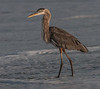 • Location - Spessard Holland in Melbourne Beach<br /> • The Great Blue Heron after it swallowed the cat fish.  Doesn't look very happy.