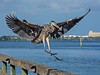 • Location - Sunrise Park Pier in Indialantic<br /> • Great Blue Heron coming in for a landing. This was taken with Nikon P7100 P&S camera