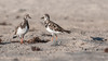• Location - North Indialantic Beach<br /> • Pair of Ruddy Turnstones