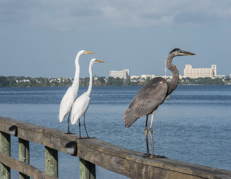 • Location - Sunrise Park Pier in Indialantic<br /> • Great Blue Heron with 2 Great Egrets looking for something to eat