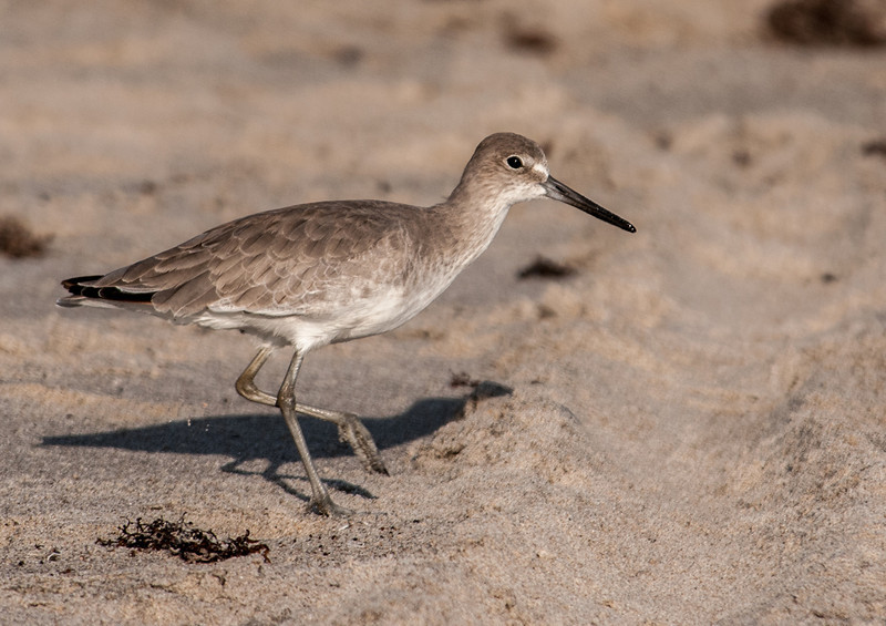 • Location - Spessard Holland in Melbourne Beach<br /> • Willet on the move.