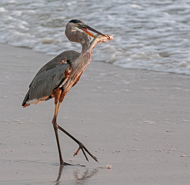 • Location - Spessard Holland in Melbourne Beach<br /> • Great Blue Heron with a cat fish