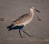 • Location - North Indialantic Beach<br /> • Willet in the spotlight