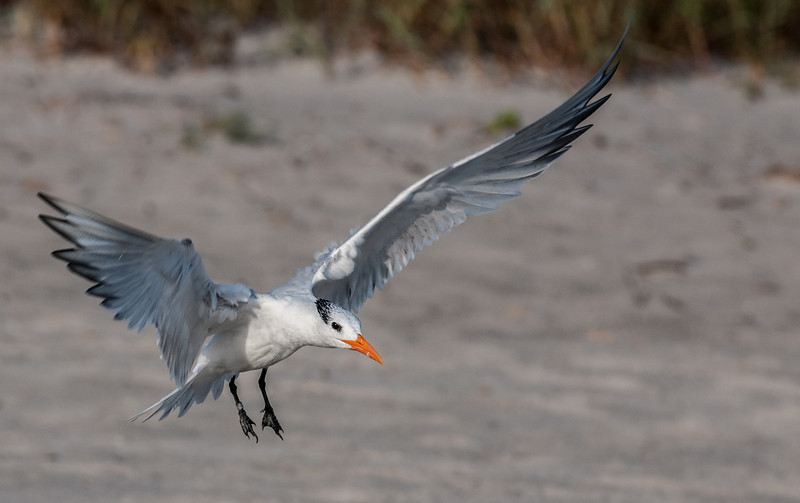• Location - Indialantic Beach Indialantic<br /> • Caspian Tern coming in for a landing