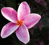• Location - Indialantic <br /> • Frangipani Flower