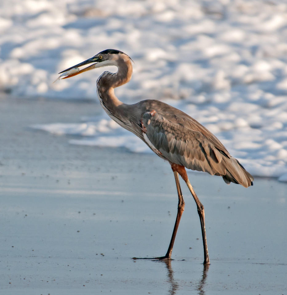 • Location - Spessard Holland in Melbourne Beach<br /> • A Great Blue Heron eating a small fish it captured in the ocean