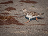 • Location - North Indialantic Beach<br /> • Ruddy Turnstone on the move