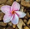 • Location - Indialantic <br /> • Frangipani Flower landed a bed of stones