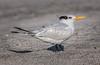 * Location - Indialantic Beach<br /> • Caspian Tern