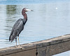 • Location - Sunrise Park Pier in Indialantic<br /> • Little Blue Heron