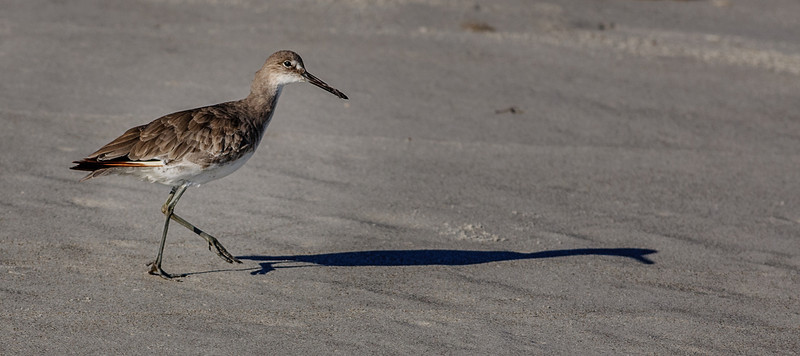• Location - North Indialantic Beach<br /> • Willet with its shadow