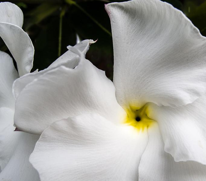 • Location - Indialantic <br /> • Pachypodium lamerei