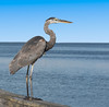 • Location - Sunrise Park Pier in Indialantic<br /> • Great Blue Heron