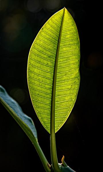 A back-lit leaf