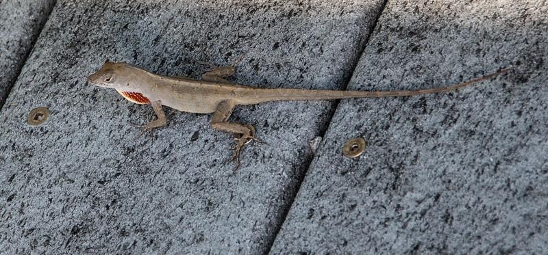Brown Anole Lizard taking a walk on the boardwalk