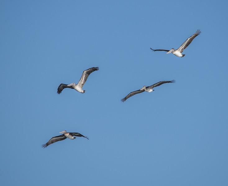 Four Brown Pelicans in flight