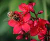 Jatropha integerrima with a Honey Bee on it