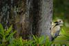Red-bellied Woodbecker