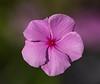 Annual Vinca - Catharanthus roseus