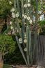 Night Blooming Cactus Tree
