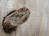 A raise wood knot