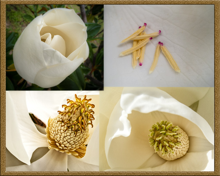 Parts of the Magnolia Seed Pod on its Bloom
