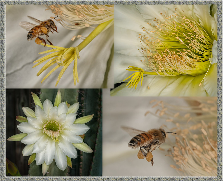 Night Blooming Cactus with Honey Bee flying in it