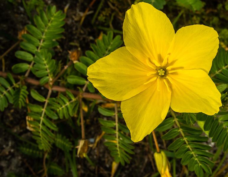 Turnera Ulmifolia