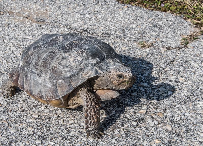 Gopher Tortoise walking across the street