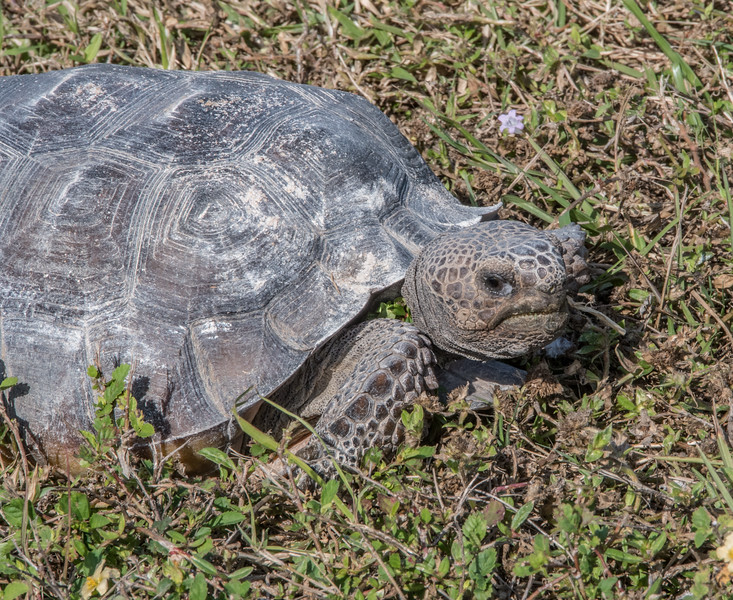 Close-up Gopher Tortoise