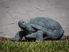 Metal Turtle Sculpture - I thought this was real turtle when I first saw it.