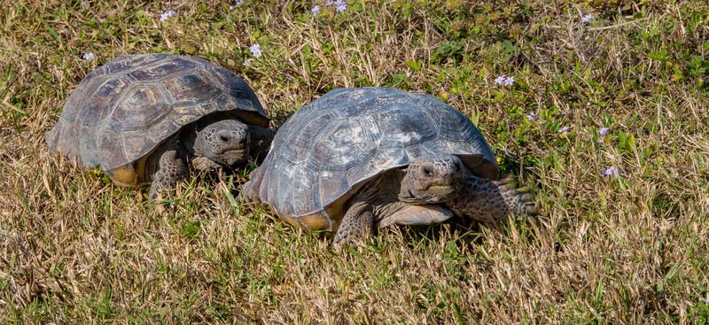 A pair of Gopher Tortoises