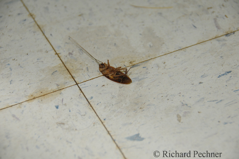 Dead roach of noticeable girth.  Fortunately we didn't see any live ones.