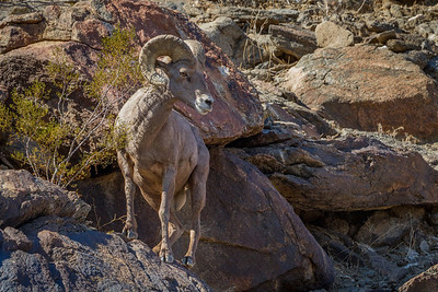 Borrego - Peninsular Bighorn Sheep