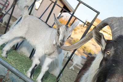 Baby goat Gretel nibbling on her dad LouieG's long horn at Quail Hollow Farm CSA Moapa Valley community supported agriculture.