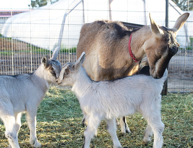 Baby goats pictured here Hansel and Gretel newborns at Quail Hollow Farm CSA Moapa Valley community supported agriculture.