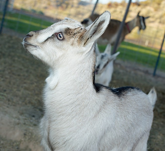 Baby goat pictured at Quail Hollow Farm