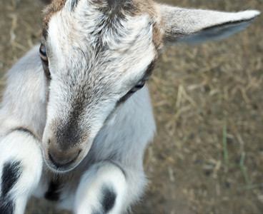 Goats are very social and want to get right into your business and they are good at it lik Baby goat at Quail Hollow Farm in this picture.