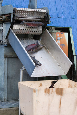 Adult Coho salmon dropping in to collection tote for distribution up river.