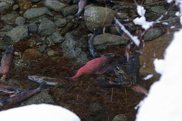 """Enhanced"" Salmon Carcasses Adding Their Nutrients to  North Fork of the Skykomish Tributary. Carcasses are placed in back eddies and in softer water, so that they have the best chance to be utilized by local residents before water flows flush them in to the main current."