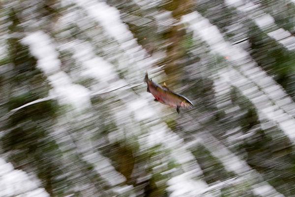 Coho Salmon Carcass in Flight