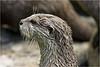 Otter (Planckendael)