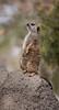 Meerkat, Slender -Tailed