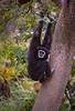 White-Handed (Lar) Gibbon