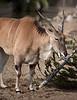 Dama (Addra) Gazelle