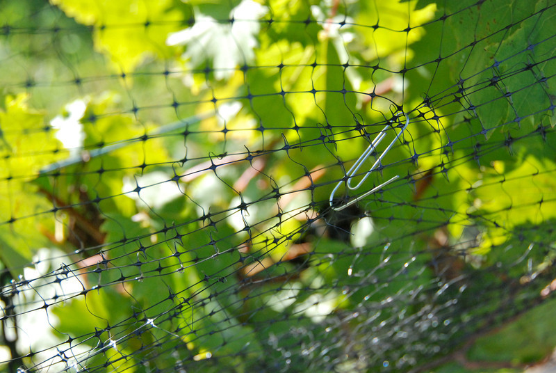 The high-tech version of grape management: a paper clip to keep the nets closed.
